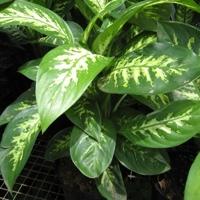 00-dieffenbachia-maculata-visoflora