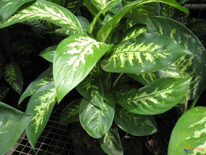 dieffenbachia-maculata-visoflora